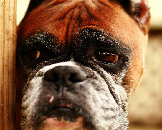 Nutrition of the Old Dog Boxer