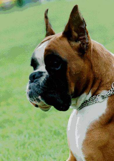 Boxer Breed Standard FCI