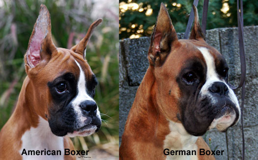 German vs American Boxer