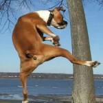 Funny Boxer Dog Pics 1