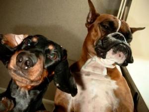 boxer and dachshund