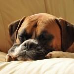 boxer sleeps