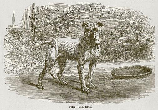 Bull-Dog, bullenbeisser, boxer 1870
