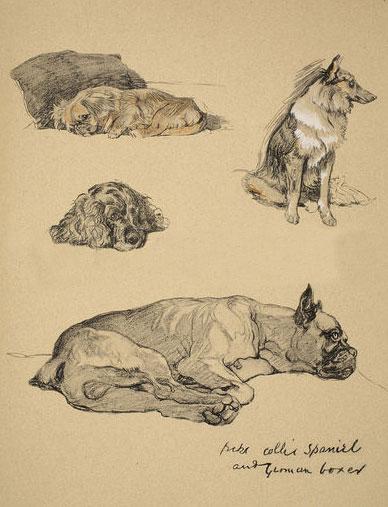 German Boxer 1930 Illustrations