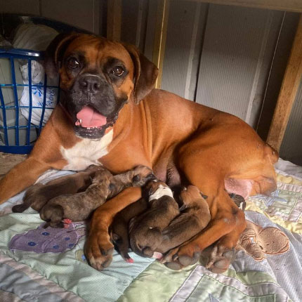 boxer mom and her puppies