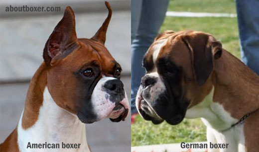 What is the difference between an American boxer and a German boxer?